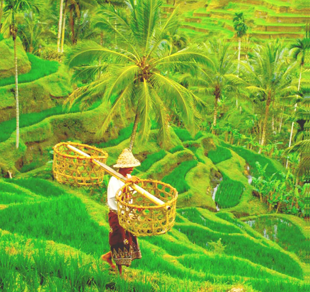 Bali Rice Fields in Ubud